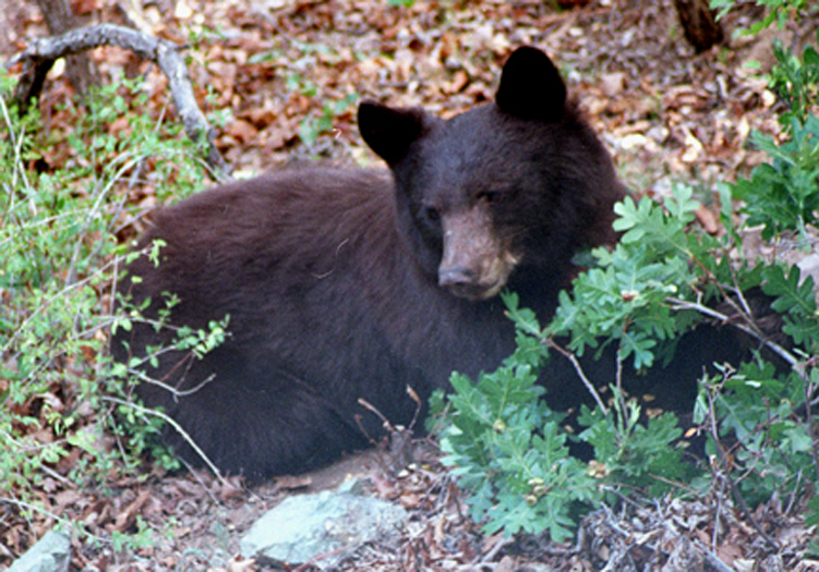 Resident Bear Photos Bear Smart Durango