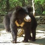 Sloth bear a Wildlife SOS