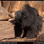 Sloth bear c Wildlife SOS