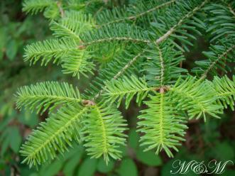 New Pine Growth