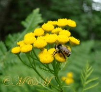 Bee and Tansy