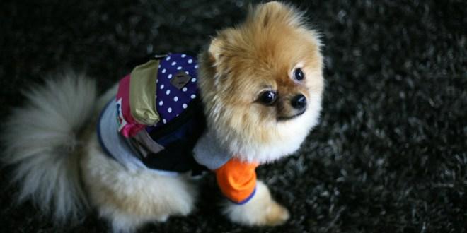 Charlie's Bag - Violet - 愛犬用リュック(チワワ)