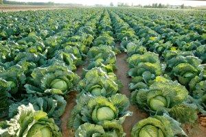 cabbage-vegetables-pancreatitis