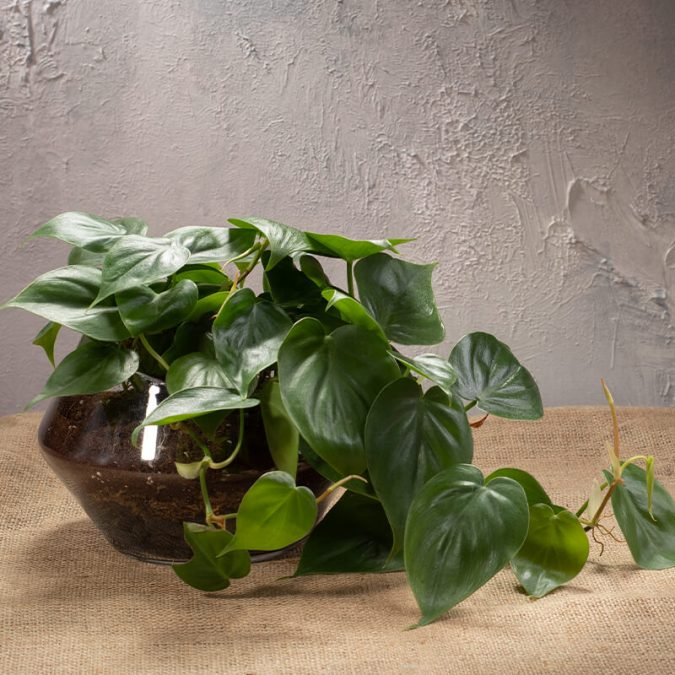 Philodendron Scandens in Glass