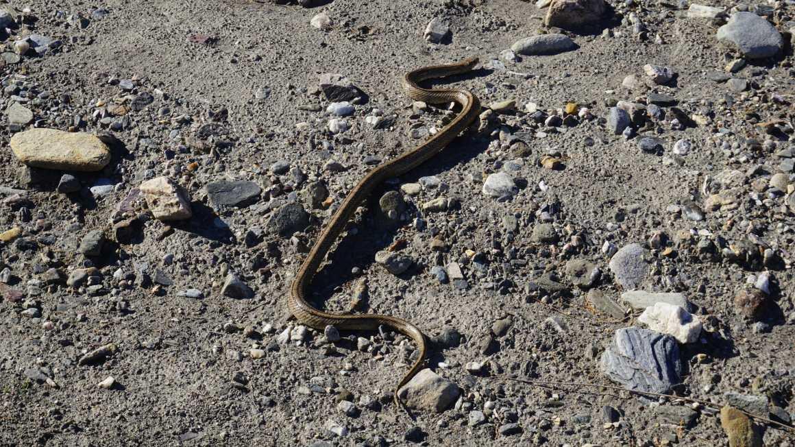 Tabernas desert snake
