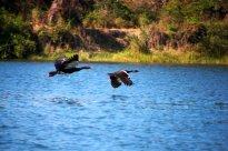 Spar-winged Geese