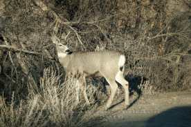 mule-deer-pauses-inlight-sig-small
