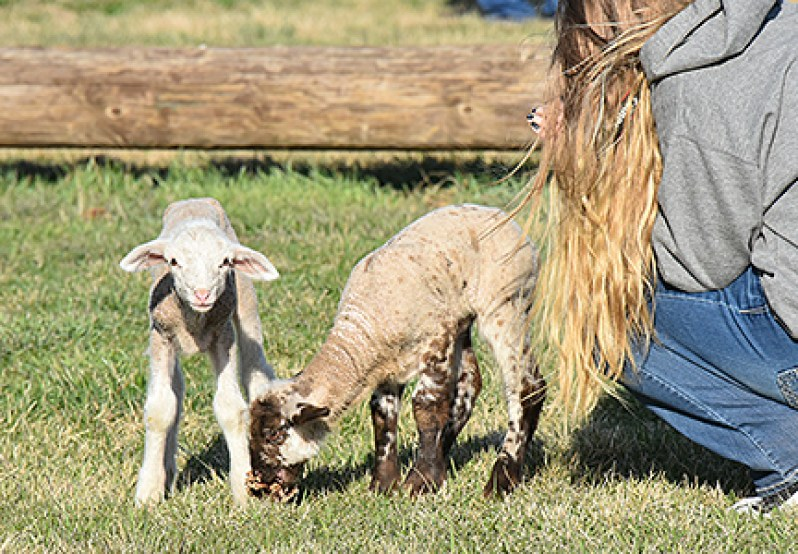 Two lambs stand stand next to an adoring teenage girl cuddling one of their siblings.