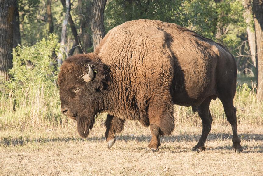 A bison bull walks past my campsite