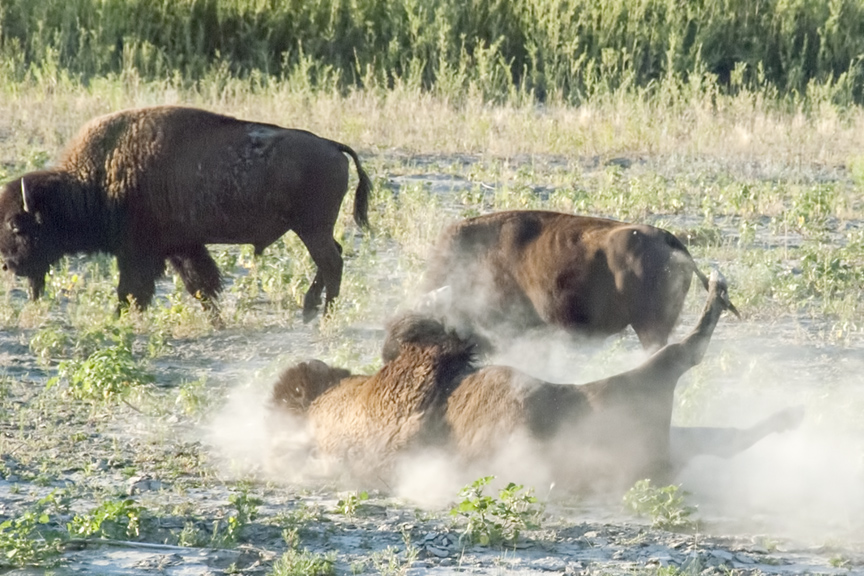 Bison wallows in the sand along the river.