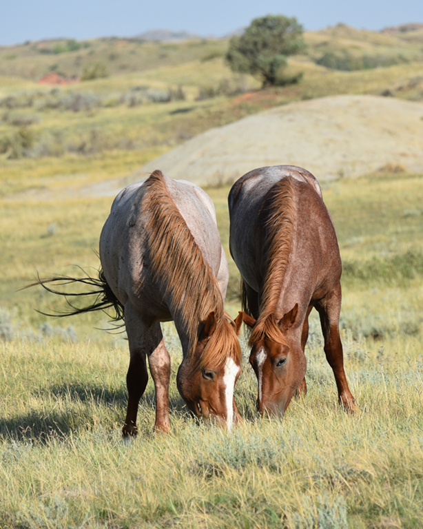 Two of the wild horses at the South Unit of TRNP are Roosevelt and Trooper.