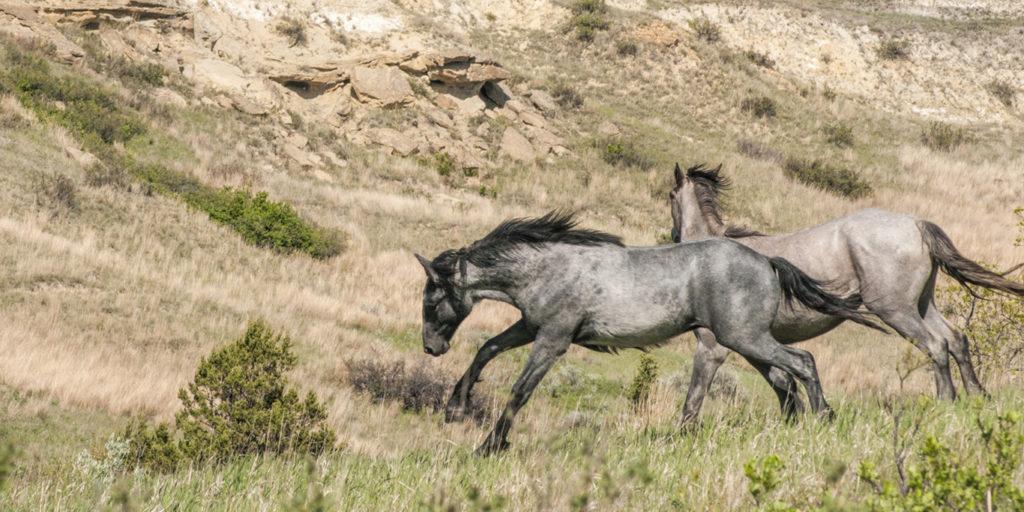 two wild horses run