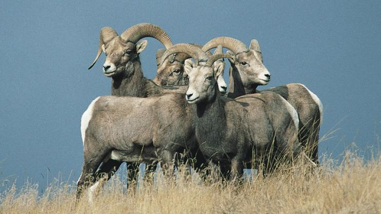 Big horn sheep pause on a hillside.