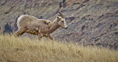 Find out Friday – Where are the big horn sheep in the North Dakota Badlands?