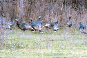 A flock of wild turkeys in the brush