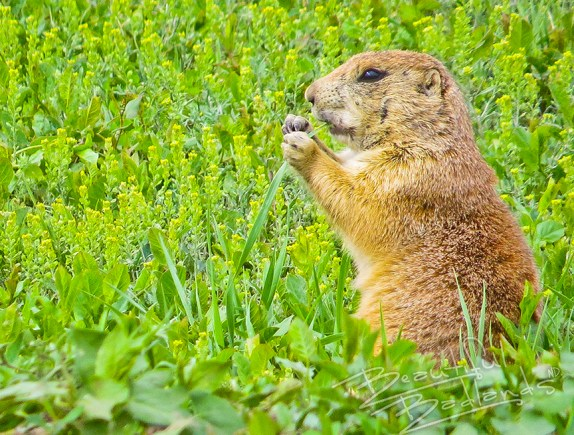 Prairie dogs eat green grass