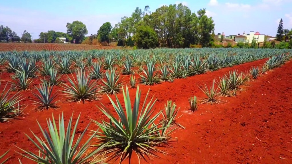 , Flying our drone around the Agave fields at Los Altos Tequila