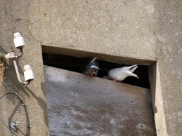home for pigeons