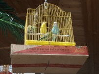 Birds in cages hung in entrance to restaurant - China 2012