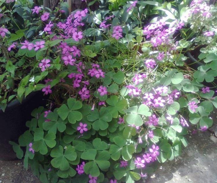 La fioritura dell' Oxalis rizomantosa avviene in primavera dove tra aprile e maggio c'è il  picco della fioritura,, ma può fiorire di nuovo alla fine dell'estate.