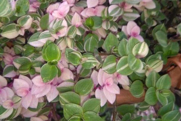 callisia repens variegata con foglie piccole che vanno dal verde o anche con strisce dal rosa e al bianco al color crema.