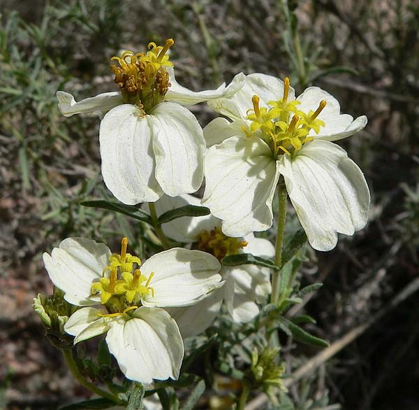 Fiore di Zinnia acerosa – di Stan Shebs, CC BY-SA 3.0