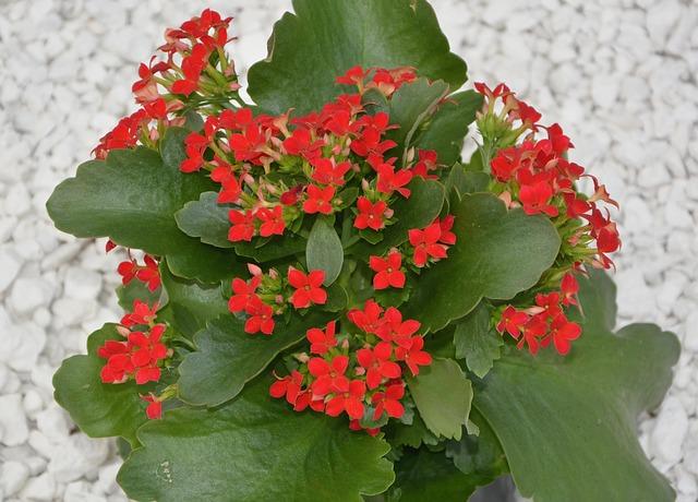 Kalanchoe blossfeldiana-Immagine JacLou DL di Pixabay