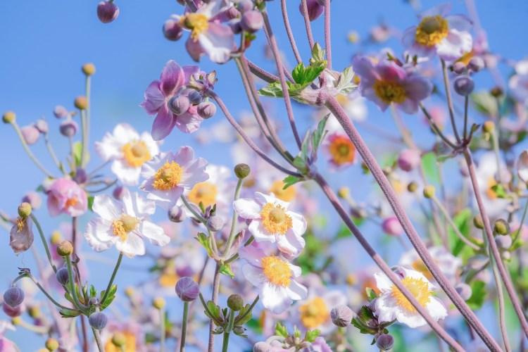 Anemone japonica Foto di Couleur da Pixabay
