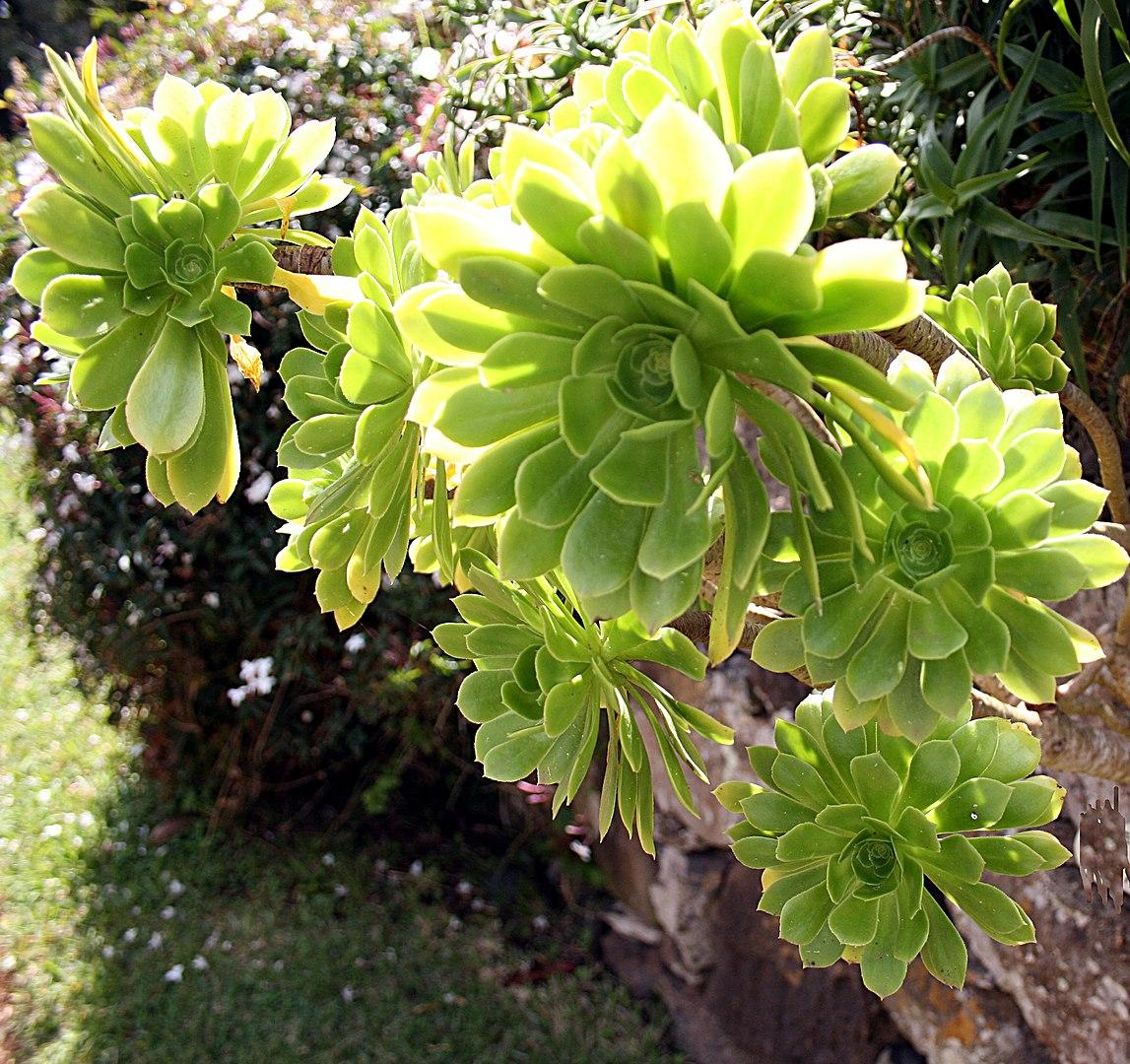 Aeonium piante ornamentali per angoli rocciosi del giardino o per abbellire terrazze e balconi