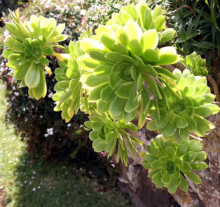 Madeira, Giardini di Palheiro - Aeonium arboreum