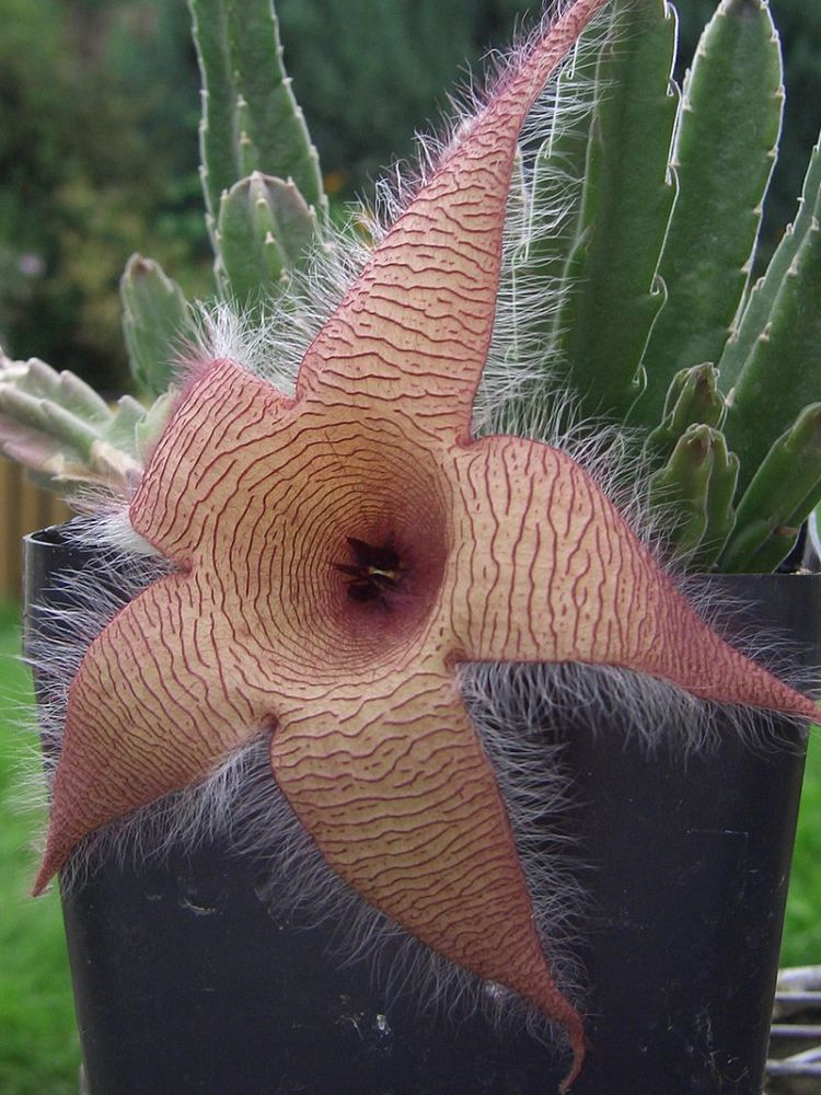 Fiore stapelia gigantea By Gilbert8888, CC BY-SA 3.0,  commons.wikimedia.org