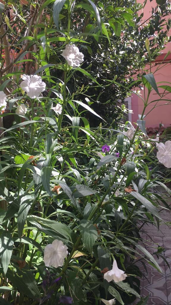 Ruellia Brittoniana a fiore bianco.