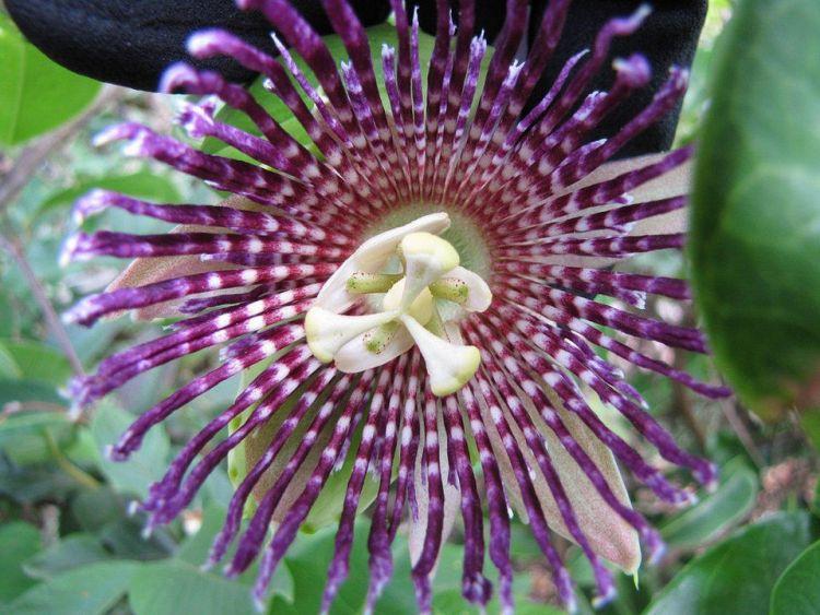Fiore di Passiflora laurifolia
