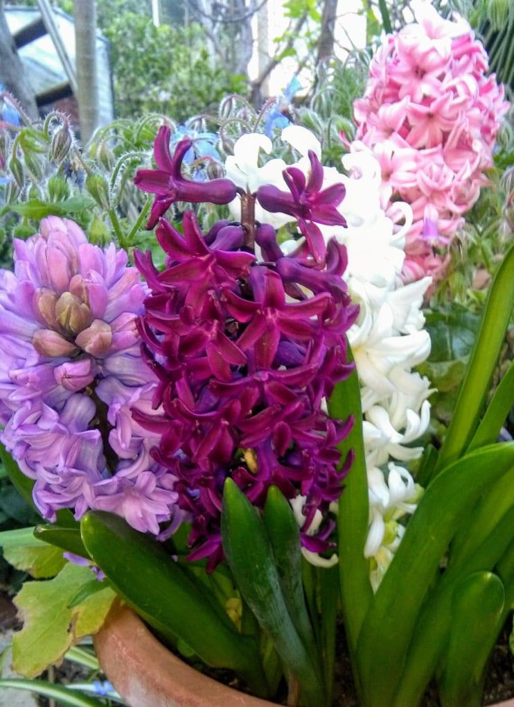 Giacinto-Hyacinthus orientalis.