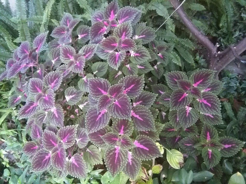 Coleus pianta annuale dal fogliame dalla colorazione variopinta e intensa