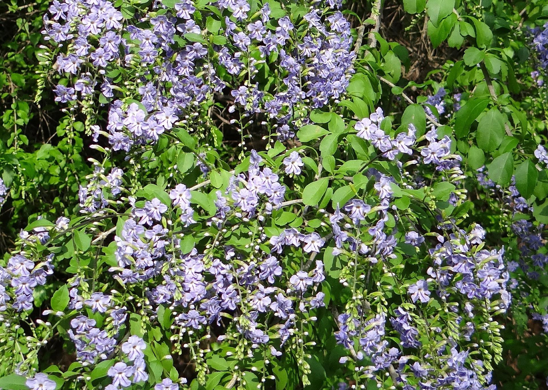 Duranta erecta una tropicale con splendidi fiori blu e viola