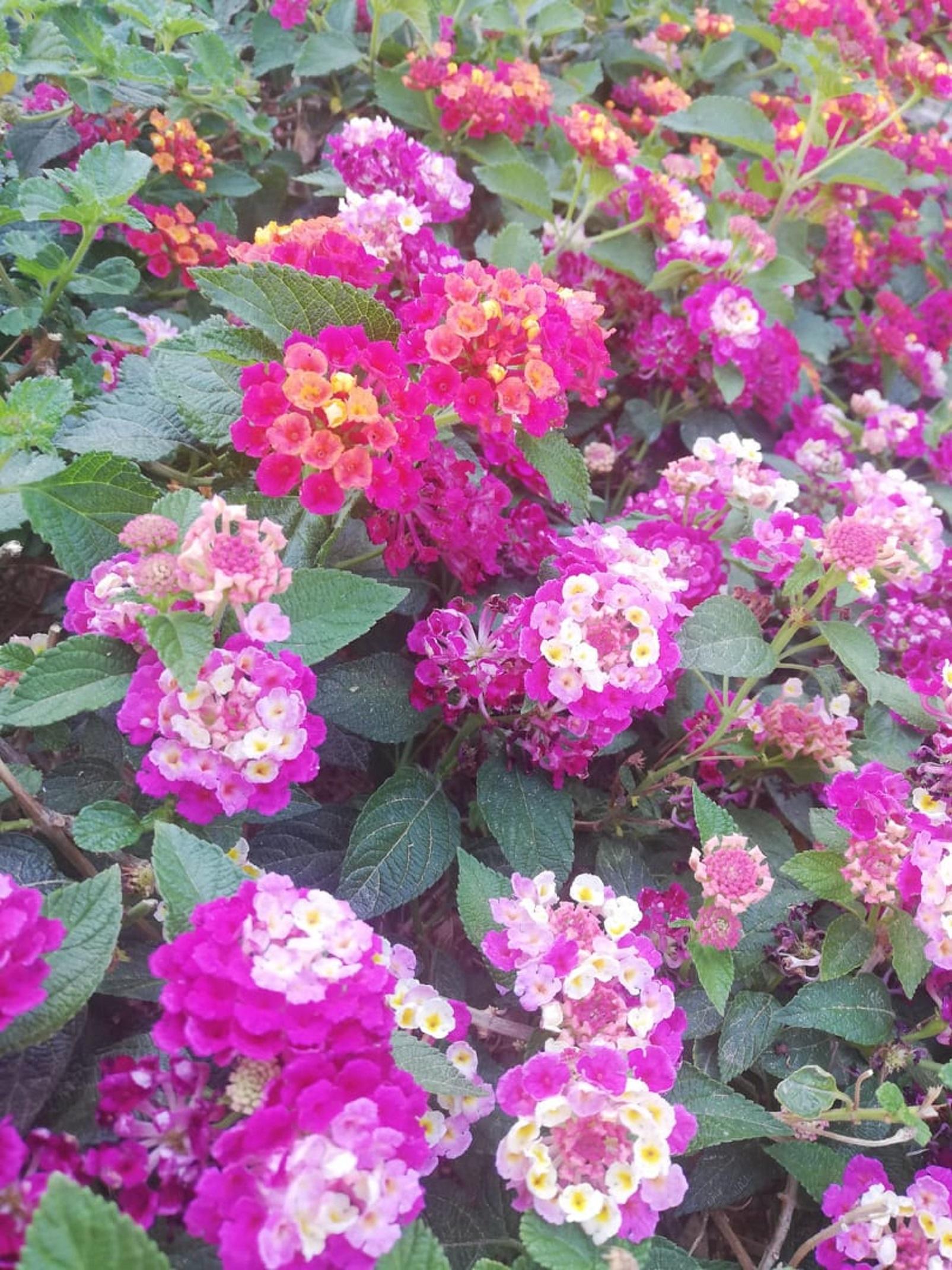 La lantana una pioggia di colori che attira le farfalle