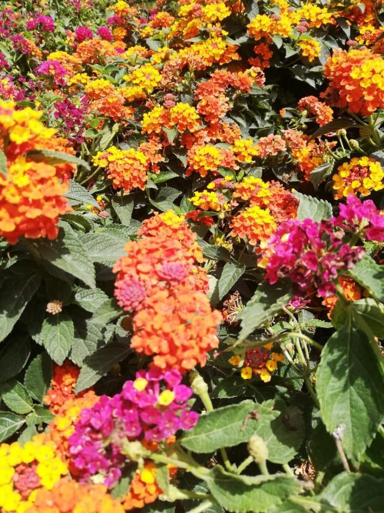 Lantana camara  Spreading Sunset,  varietà con fiori che dal giallo passano al rosso