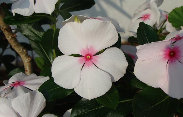 Fiore di Pervinca del Madgascar  presenta la macchia di colore contrastante nella parte centrale.