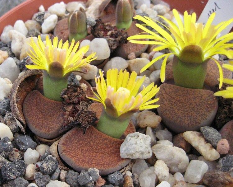 Lithops lesliei ssp. lesliei v.mariae