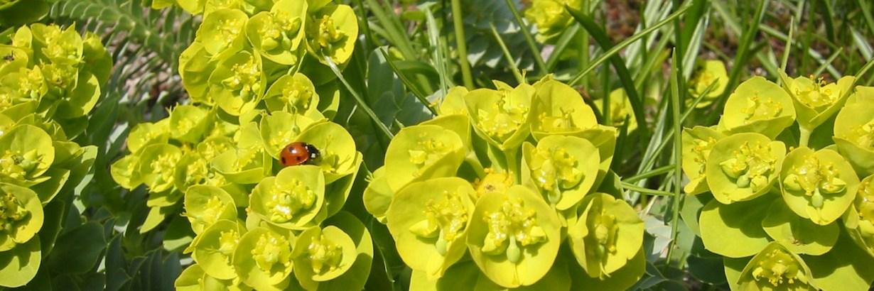 Euphorbia_myrsinites; Botanic Garden, Vienna, Austria.