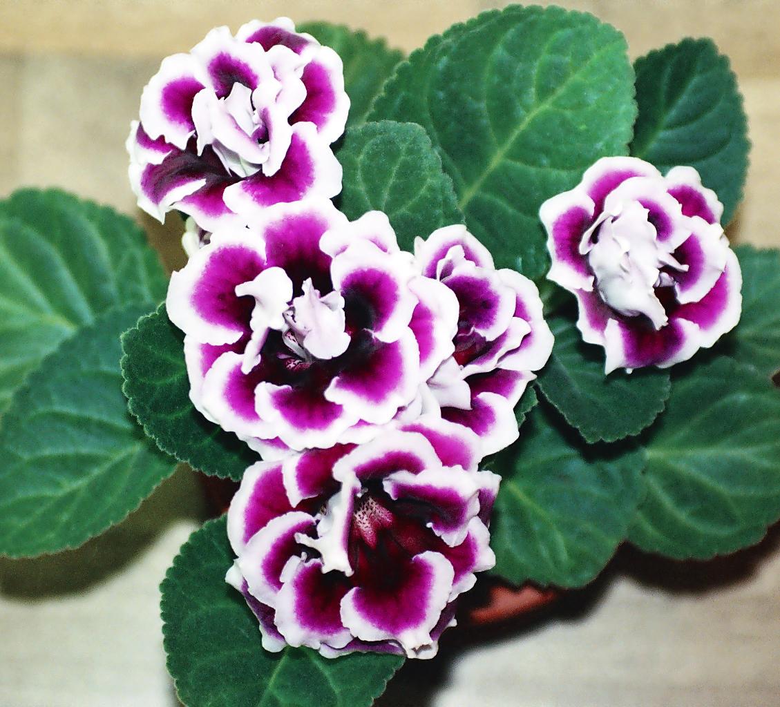 Gloxinia(Sinningia speciosa) la pianta con i fiori a campanella vellutati