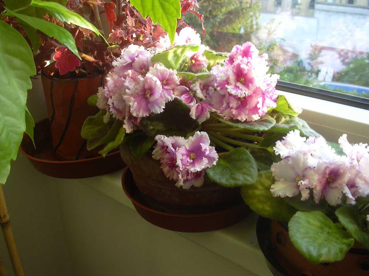 Violetta africana (Saintpaulia jonantha) la pianta delle fioriture vivaci per tutto l'anno