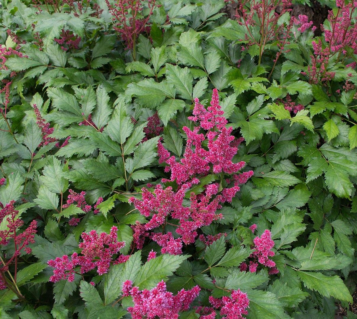 Astilbe piante molto decorative dalle infiorescenze a pennacchio