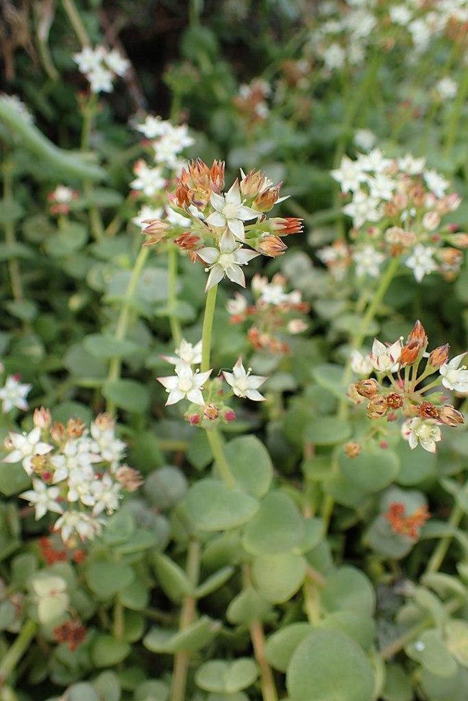 Dettaglio del fiore: C. pellucida subsp. pellucida