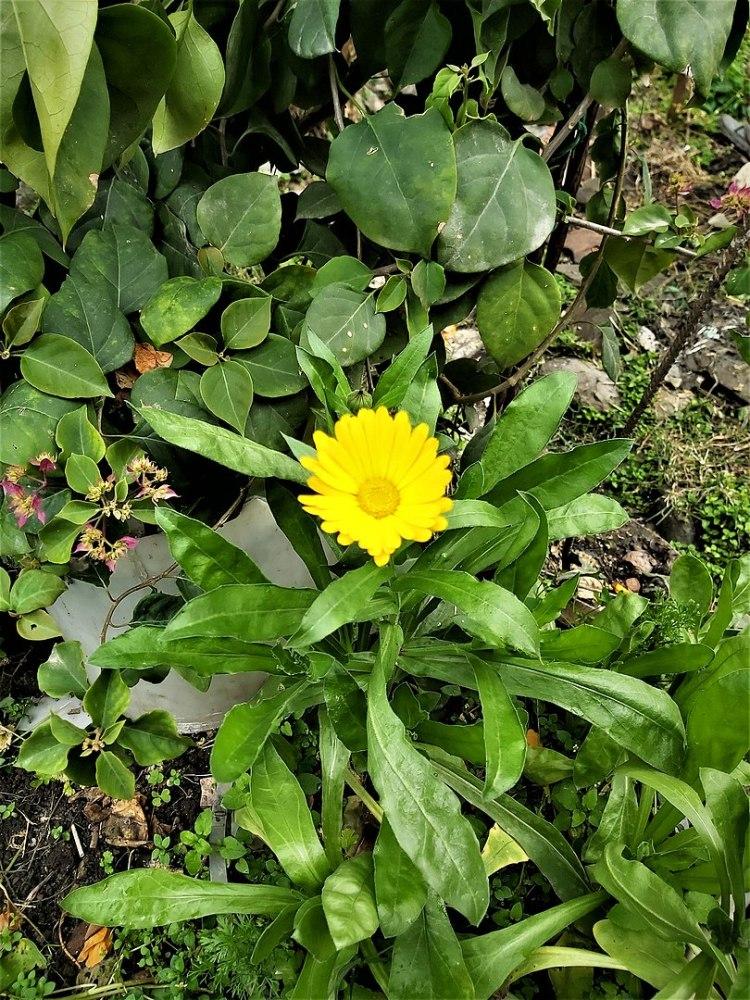 Calendula Arvensis conosciuta con il nome comune calendula di campo. È originario dell'Europa centrale e meridionale ed è conosciuto in tutto il mondo come specie introdotta. La calendula arvensis è un'erba annuale o biennale alta 10 - 50 cm.