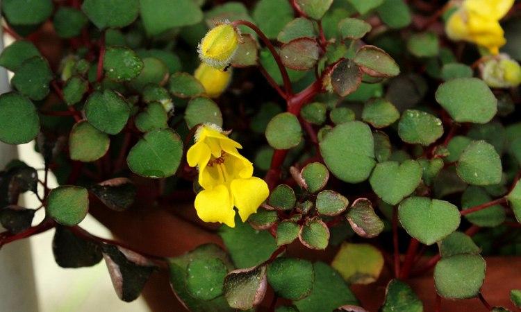 L'impatiens repens è una pianta endemica dello Sri Lanka