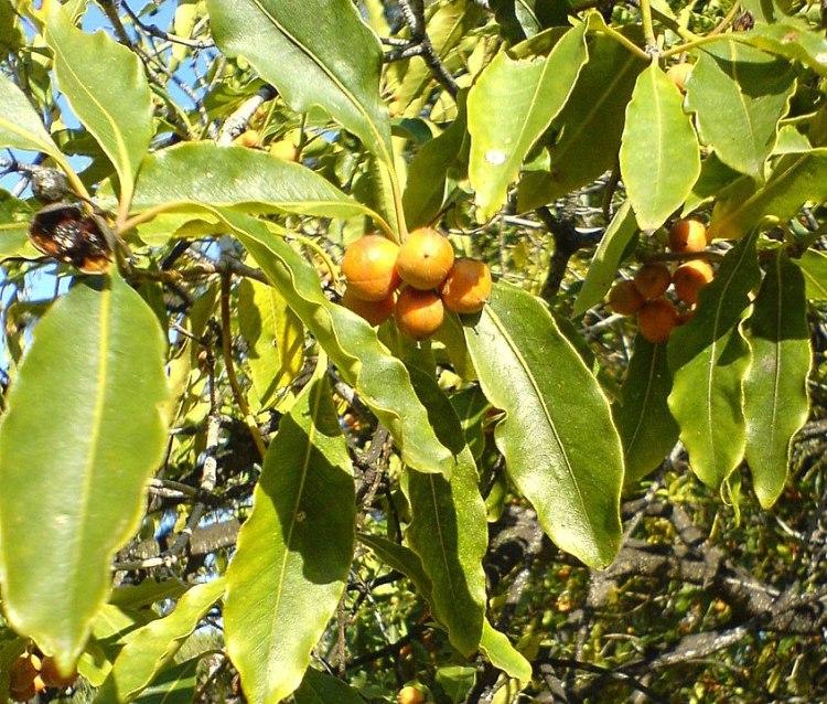 Pittosporo undulatum foglie e frutti