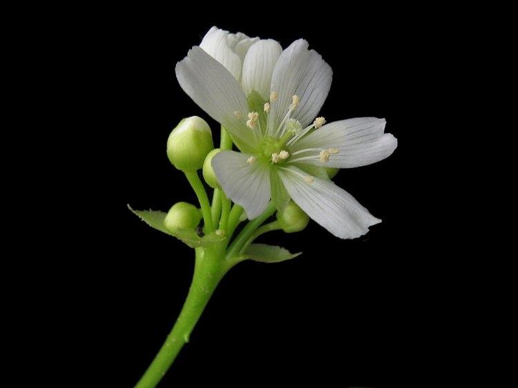 Fiore di Dionea muscipola