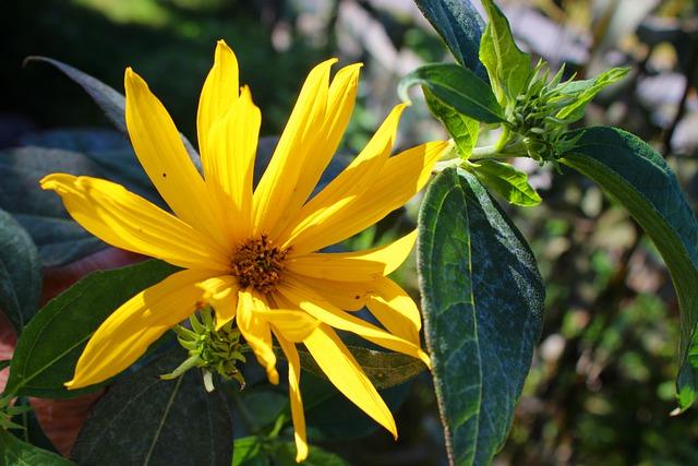 Foglie , petali e fiori di Topinambur.